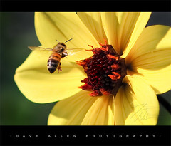 """Bee in Flight"" (Dave Allen Photography) Tags: flower macro insect wings flight yellowflower bee 105mm flyingbee aplusphoto nikond300 daveallenphotography"
