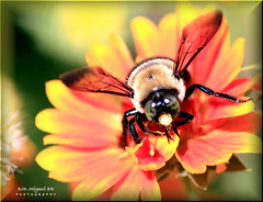 bumble bee up close and personal.... (Kamoteus (A New Beginning)) Tags: canon rebel northcarolina bumblebee canonrebel rebelxt canonrebelxt eosrebel chimneyrock kamote rebelxti eos400d eosrebelxti aplusphoto kamoteus2003 kamoteus burabog ronmiguelrn