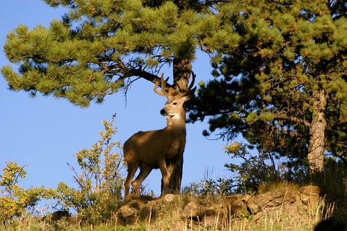 Mule Deer in the Backyard