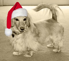 Honey Claus (Doxieone) Tags: santa christmas red dog hat cream dachshund honey final blonde mostpopular coll ggg 2do theset honeydog topfavorite englishcream xmas2008 ayearofholidays hatphotoshopped