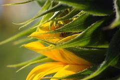 三芝的向日葵花田 (月娘) Tags: 植物 向日葵 生活 三芝 秋天 花海 花卉