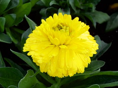 Yellow (laughingoysterbabies popping in and out ~**) Tags: flower yellow droplets naturesfinest hayesmansion