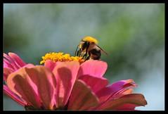 bumblebee (spiritofredhorse) Tags: magicofaworldinmacro themacrogroup alemdagqualityonlyclub spectacularmacro