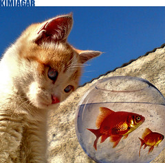 I Love You! (Kimiagar) Tags: blue sky orange fish reflection love glass cat photoshop reflex goldfish iran d contest persia bowl montage soe edit ambush pishi baran malus maloos abigfave diamondclassphotographer flickrdiamond pet100 platinumheartaward goldstaraward rubyphotographer flickrlovers bestflickrphotography kimiagar