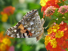 12 Days of Christmas Butterflies - #11 Painted Lady on lantana (Vicki's Nature) Tags: lady canon butterfly georgia searchthebest paintedlady s5 vanessacardui naturesfinest sooc colorphotoaward natureoutpost vickisnature beautifulworldchallenges 12daysofchristmasbutterflies bwcgbutterfly mothercolorful yourockmanycolored