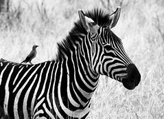 One for me, and one for my friend (@Doug88888) Tags: world pictures africa travel vacation white holiday black bird eye nature face grass animal digital canon tanzania nose eos eyes legs image body head wildlife beak picture gimp images lodge east safari zebra buy beast sopa dslr serengeti purchase tz arusha eastafrica 400d doug88888