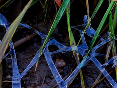 blue ice in the half-grass (mereshadow) Tags: ice grass miracle whatdoesitmean