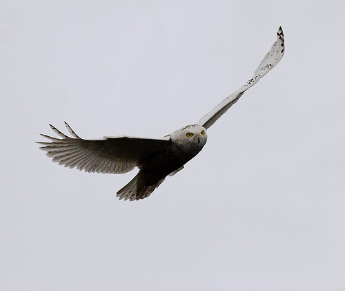 Snowy Owl 3004