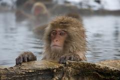 0 degrees outside, 60 degrees in the water.... (chris-lh) Tags: chris winter snow nature japan interestingness flickr wildlife explore  onsen monkeys hotspring nagano   jigokudani     shibuonsen