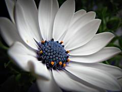 daisy (GooseGoddessS) Tags: blue flower macro petals flora african daisy africandaisy osteospermum challengeyouwinner mywinners karmapotd karmapotw storybookwinner