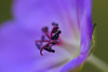 this is much bigger than it looks but I'm not too good at drawing to scale (jewelflyt) Tags: plant macro nature garden purple bokeh quote petal stamen geranium storypeople hpps perfectpurplesaturday althoughisupposethisisactuallysmallerthanitlooks