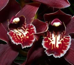 Cymbidium Pywacket 'Wild Thing' orchid hybrid, 1st bloom  1-09* (explore: high was 237 on 1-28-09) (nolehace) Tags: sanfrancisco orchid flower explore hybrid 109 cymbidium excellence pywacket nolehace fz18 4mazingorgeoushotsoflowers