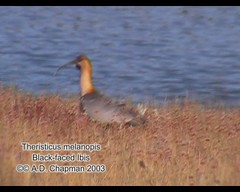 Theristicus melanopis (Black-faced Ibis) (Arthur Chapman) Tags: argentina birds video aves lagoargentino calafate blackfacedibis theristicusmelanopis theristicus melanopis taxonomy:class=aves geo:country=argentina taxonomy:binomial=theristicusmelanopis taxonomy:genus=theristicus taxonomy:common=blackfacedibis geocode:method=googleearth geocode:accuracy=500meters