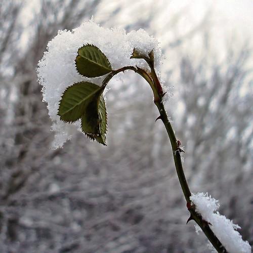 Snowbud