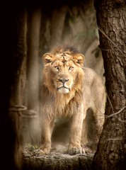 The royal glare ( Enchnres ) Tags: wild leo wildlife lion bigcat lionking carnivore pantera jungleking sapnasapien