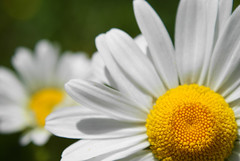 Daisy Bokeh (Alan Wrights) Tags: white blur flower macro green yellow daisies flora bokeh daisy