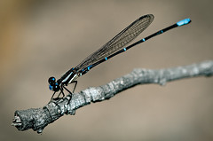 (l ptit lucin) Tags: blue macro azul nikon costarica libelula micro montezuma nikkor 105mmf28gvrmicro nikkor105mmf28gvrmicro d300s nikond300s