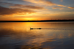 Sunrise at Chatfield Reservoir (mland329) Tags: park sky orange sun lake reflection nature water animal sunrise canon landscape geese colorado denver reservoir 1855 chatfield littleton