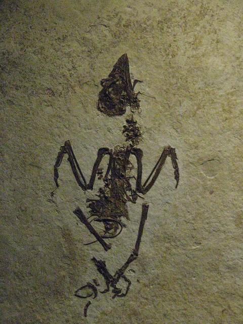 Eocene parrot