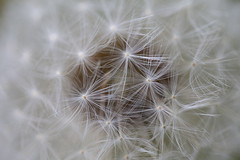 Simply Beautiful I (Claire Chao) Tags: morning white macro beauty canon spring amazing weed soft details seed dandelion simple softlight 蒲公英 macroworld morningshot canonmacro beautifulmacro amazingdetials ef100mmf28macrollens canonmacrollens