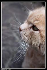 Minù e i suoi baffoni (LPhotos87) Tags: brown white verde green eye cat fur eyes vert occhi blanca grün braun gatto bianco blanc occhio brun marrone pelliccia weis marròn