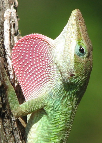 """Strawberry"" the Green Anole in full display as I talk to him!!  See other photos ..."