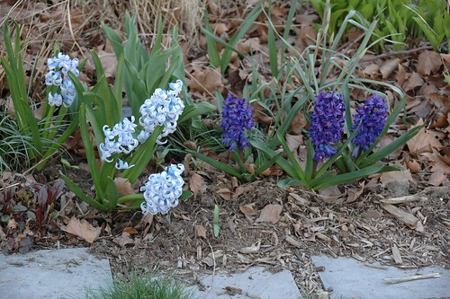 Heirloom Hyacinths