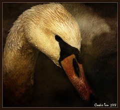 The Swan (mac_raw) Tags: vacation texture swan bravo connecticut kisses xo missyou ~ besos imissyou gday 80400mm whereareyou hugsandkisses firstquality missyoualready tickletickle xoxoxoxox d80  specanimal xoxoxoxoxoxo animalkingdomelite seeyounextweek aplusphoto avianexcellence megashot macraw hopeyouarewell takecarexxx adoublefave cookieisthebest darlisalovescookie beijinhosss  luvyoubunchesgirlfriend missyougirlfriend andsweetest xoxoxoxoxooxoxox coveislandbeachpark supercookieswanbeauty ithinkisawacookiewasaboutu isawuonvaleriopic likeuindeedlolol loveyacookie travelingmerciesforyoursafety butseeyousoon xoxoxoxoxxoxo thecompositionwasadedication syzygymeansplanetsaligned loveyoulotswillbebacklaterxxxxxleftyouamessageinmc haveyoulandedyet hugsandkissesforeverfromdarlisa safejourneysfulloflightandjoy neverbeagrumpok xxooxxooxxooxxoo missyoutooxoxoxoxoxoxo missyouuuuuuutooo thinkingofyouxo ooxoxoxoxoxoxo iamsooohappyyouhaveinternetagain cookiecomecampingwithme igottagonowloveyou heycomebackok hugsandkissesforsure xoxoxooxoxox imissyoualotbaby missyousomuchmdearfriendhopeeverythingisalrightwithyaandfamilycomebacksoon flickrissodamnboring withoutyoucomebacknowohopeyougetthismessagedear hopeyouarefine xxxareyouokayidohopeso buonannohappynewyear