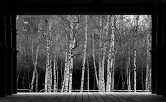 . (sjoerdtenkate.com) Tags: tree london architecture tatemodern birch jeanprouv lamaisontropicale