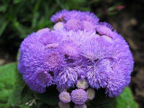 Blue Danube / Blue Hawaii / Ageratum houstonianum / カッコウアザミ / アゲラタム