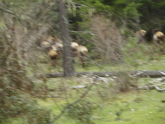 Blurry elk butts