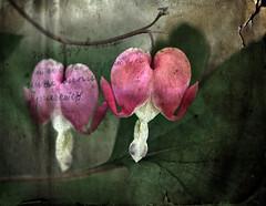Bleeding Hearts (T