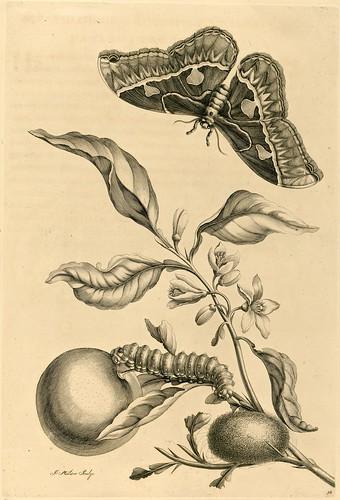 Metamorphosibus Insectorum Surinamensium (p114)