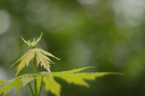 baby maple leaves