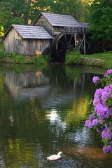 Mabry Mill (leaders) Tags: bravo soe blueridgeparkway mabrymill themoulinrouge rhododendroncatawbiense usnationalparkservice catawbarhododendron milepost176 mywinners anawesomeshot infinestyle magicdonkeysbest thegalleryoffinephotography theselectbest