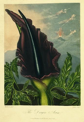 11- Dragon Arum