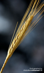 Wheat (abdull) Tags: macro nature yellow closeup canon photo wheat abdullah flickrexport2demo alhamad