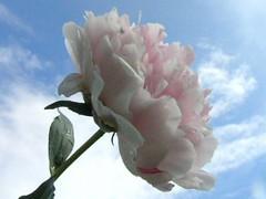 Peony And Sky 002 (Chrisser) Tags: flowers ontario canada nature garden spring gardening fourseasons closeups peonies paeonia flowerfactory paeoniaceae olympuscamediac765 flowersagainstthesky