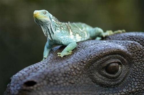 Fiji crested Iguana - Brachylophus vitiensis - Iguana delle Fiji