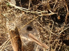 Funnel web spider (steven_and_haley_bach) Tags: bug insect spider byzantine animalia arthropoda mystras arachnida sixthday mistras greecevacation byzantineruins