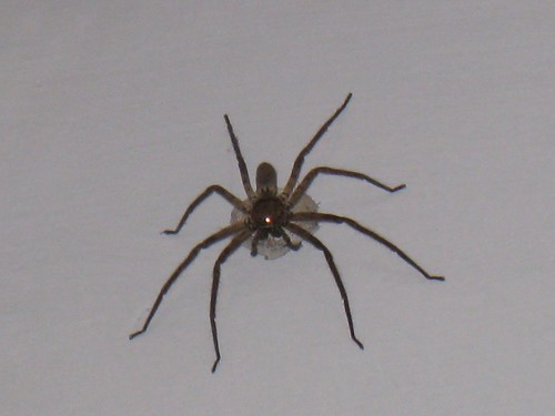 Big furry spider with egg sack in my bathroom