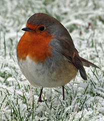 the weather for robins (earlyalan90 away awhile) Tags: robin erithacusrubecula soe supershot abigfave platinumphoto aplusphoto avianexcellence diamondclassphotographer flickrdiamond theperfectphotographer goldstaraward vosplusbellesphotos