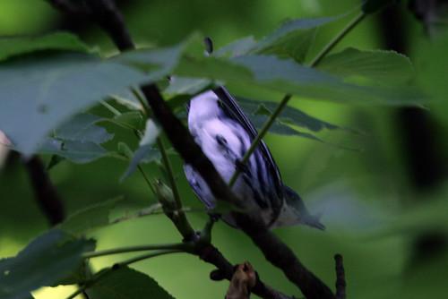 Cerulean Warbler {Dendroica cerulea}