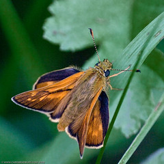 Large Skipper (Chris@184) Tags: canon butterfly insect eos interestingness interesting lincolnshire lepidoptera explore canoneosd60 d60 insecta largeskipper ochlodesvenatus top2020 top20butterflies sigma180mmf56macro top20everlasting chris184 woolsthorpeline vivitar14xmc
