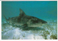 Bull Shark - postcrossing
