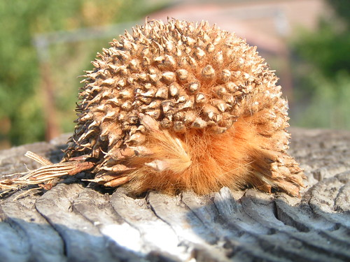 spiky seed thing looks like a hedgehog