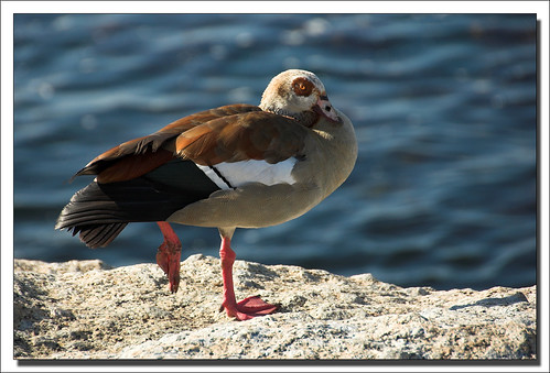 Egyptian Goose (Alopochen aegyptiaca) by ifijay.