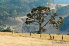 Large California Oak Tree (Darvin Atkeson) Tags: california road desktop summer wallpaper