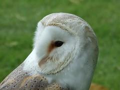 Owl @  Ballymena Steam Rally (David ...) Tags: country fair steam owl northernireland ballymena ulster davidheatley dch photofaceoffwinner 7daysofshooting dcwizzweb pfogold simplesunday week29soft dchgraphics