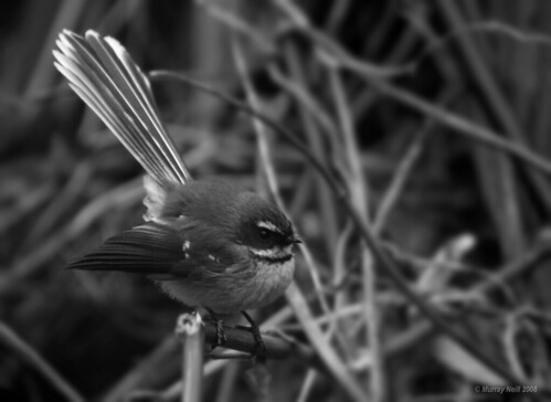 Fantail by the river